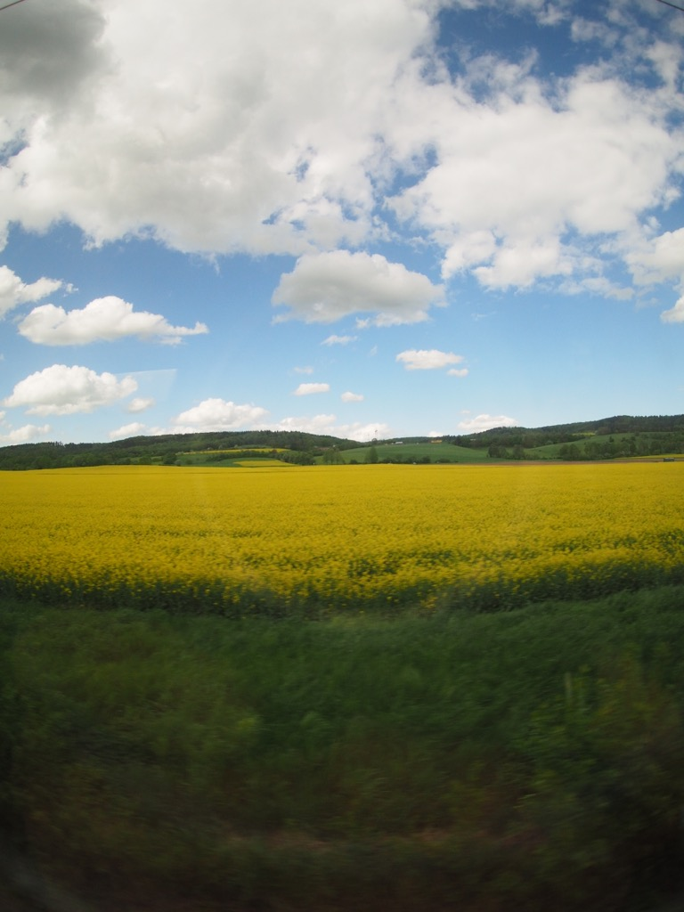 Rapeseed in bloom